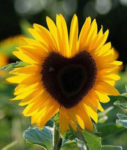 c23e729f31dd8849749734ed121ef3eb--sunflower-hearts-sunflower-garden