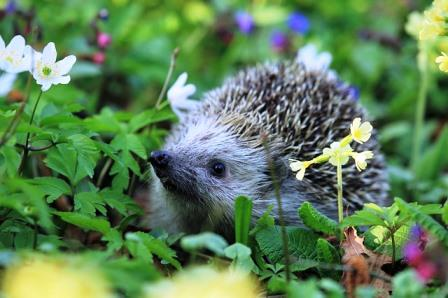 hedgehog-548335_640